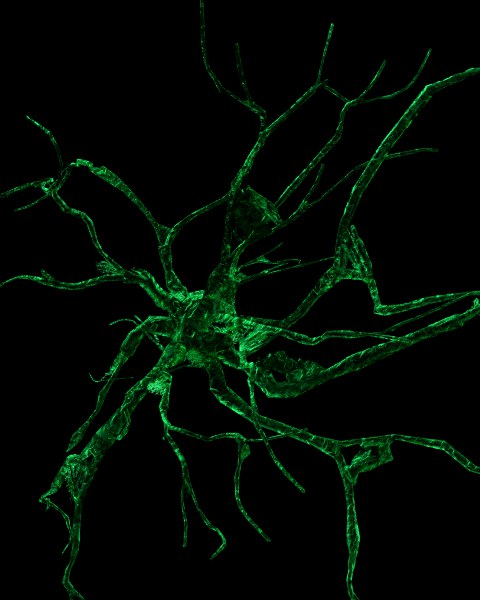 Astrocytes are arranged in geometric pattern in the human brain.