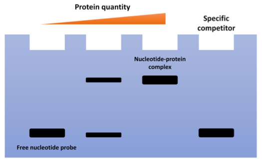 Electrophoretic Mobility Shift Assay (EMSA) for Detecting Protein-Nucleic Acid Interactions
