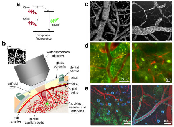 Two photon microscopy of in vivo brain function