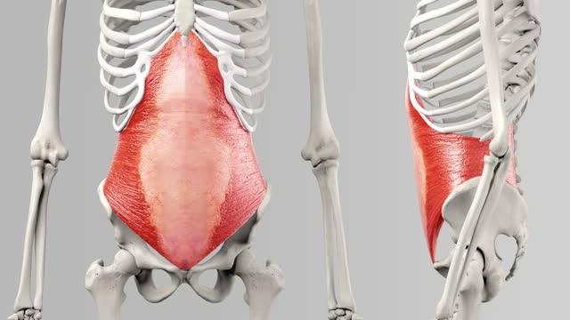 Musculus transversus abdominis - DocCheck Flexikon