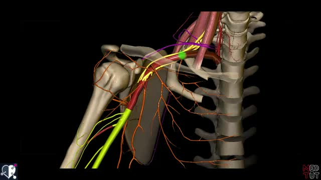 Arteria axillaris - DocCheck Flexikon