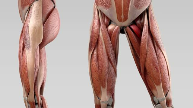 Musculus pectineus - DocCheck Flexikon
