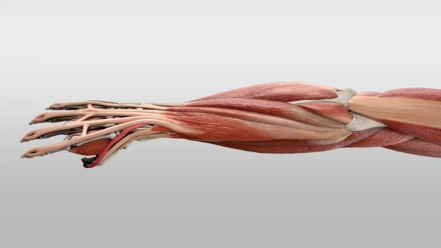 Musculus extensor pollicis longus - DocCheck TV