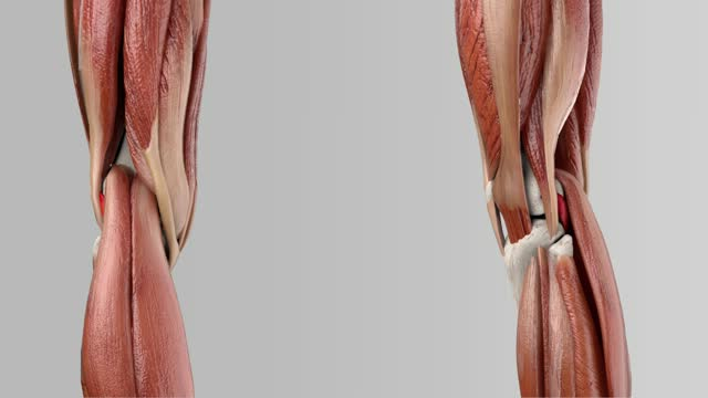 Musculus popliteus - DocCheck TV