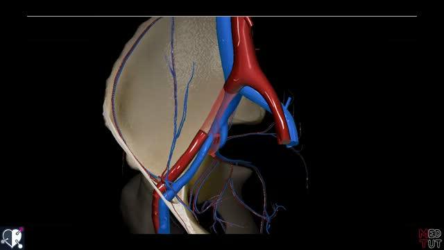 Vena tibialis posterior - DocCheck Flexikon
