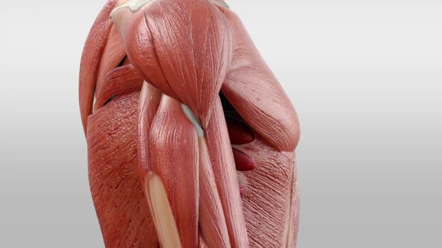 Musculus serratus anterior - DocCheck Flexikon