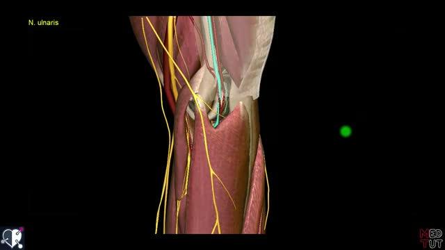 Obere Extremität - Plexus brachialis - Verläufe der Nerven (2/4 ...