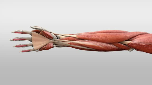 Musculus flexor digitorum profundus - DocCheck Flexikon