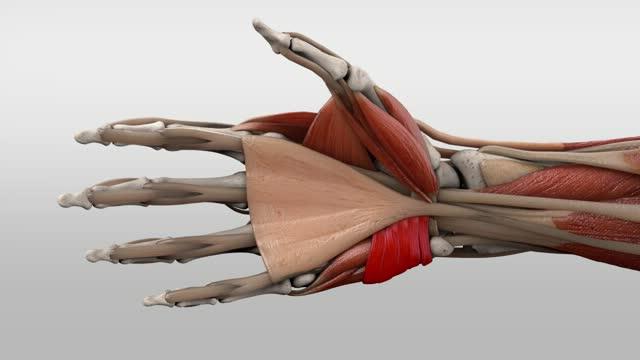 Musculus palmaris brevis - DocCheck Flexikon