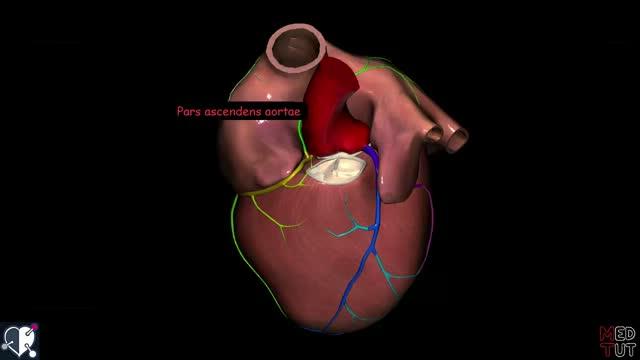 Herzkrankzgefäße (Vorschau) - DocCheck TV