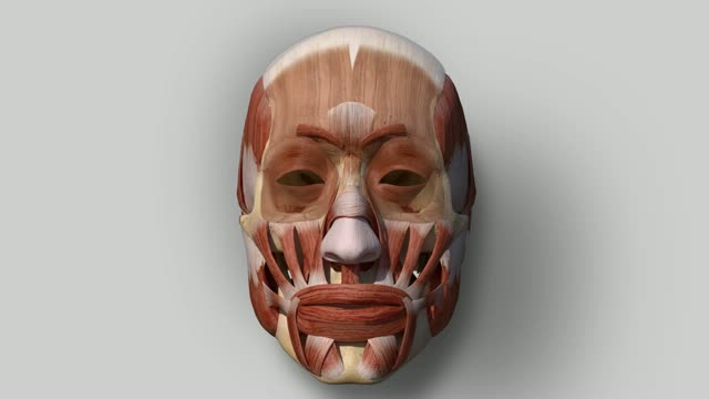 musculus corrugator supercilii - doccheck flexikon, Human Body