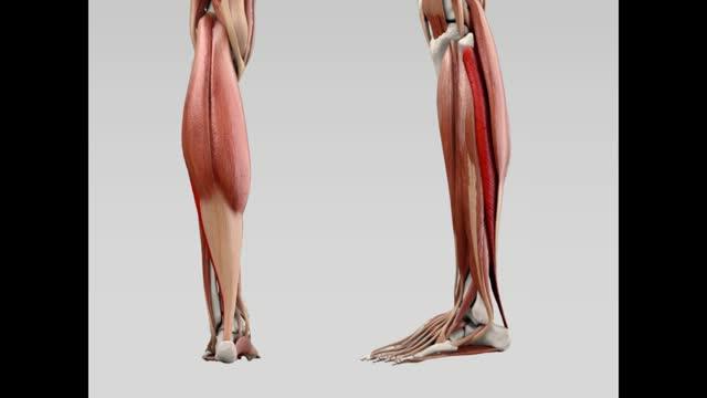 Musculus soleus - DocCheck Flexikon