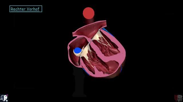 Herz - Vorhöfe - Medizintutorials - DocCheck TV