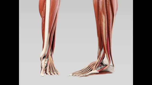 Musculus fibularis brevis - DocCheck Flexikon