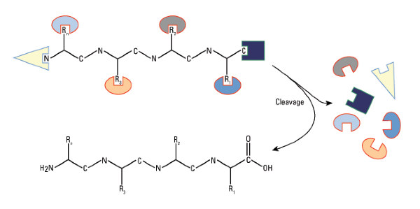 peptide protein synthesize
