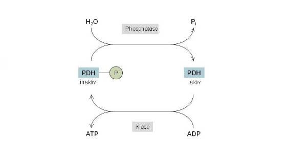 Regulation der PDH