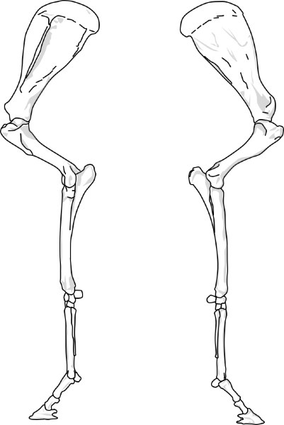 Pferd VE (lateral, medial)
