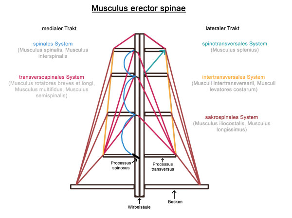 Musculus erector spinae