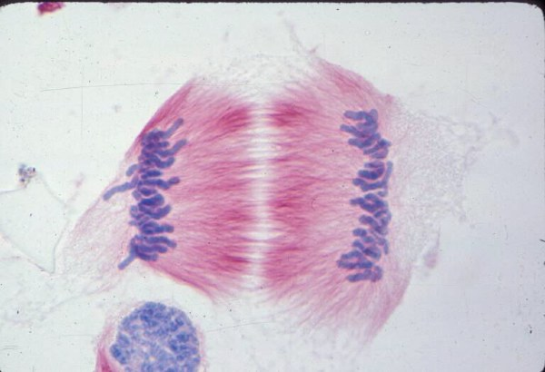 Telophase! Image of the Week - December 4, 2017 - CIL:198 - http://www.cellimagelibrary.org/images/198
