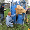 Taking blood samples in meat cattle 4