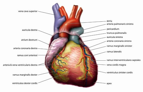 Anatomy of the Human Heart - DocCheck Pictures