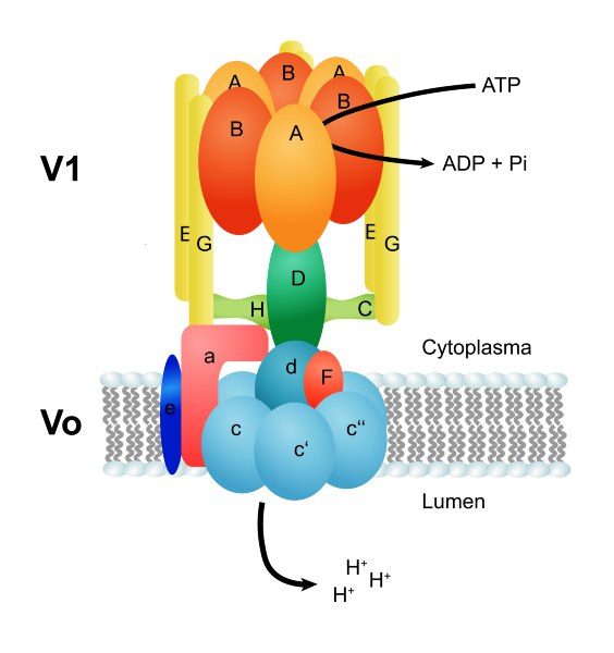 Struktur der V-ATPase