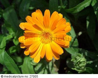 ringelblume calendula officinalis doccheck pictures. Black Bedroom Furniture Sets. Home Design Ideas