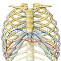 Respiration - Movent of the diaphragm (anatomical illustration)