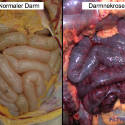 Hemorrhagic intestinal necrosis