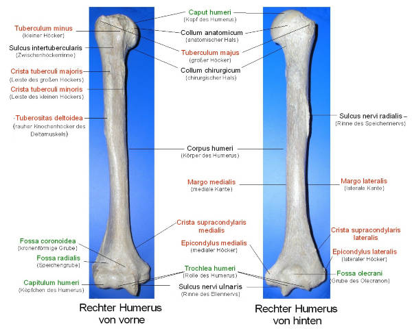 humerus doccheck pictures