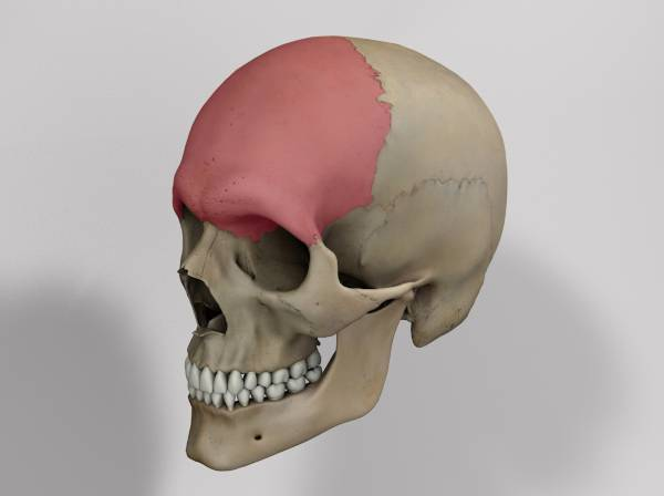 Frontal Bone Doccheck Flexikon