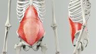 Musculus transversus abdominis
