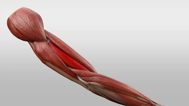Musculus brachialis - DocCheck Flexikon