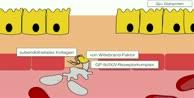 Themenwoche Blut: Primäre Hämostase