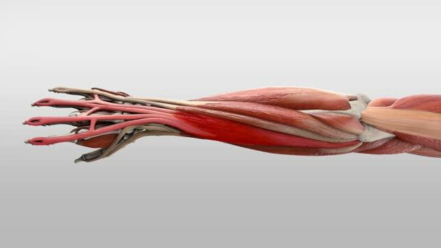 Musculus extensor digitorum - DocCheck Flexikon