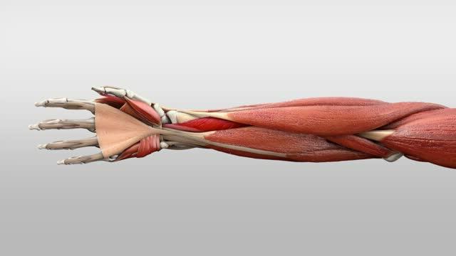 Musculus flexor pollicis longus - DocCheck Flexikon