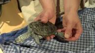 Entfernung Granulom bei einer Diamantschildkröte