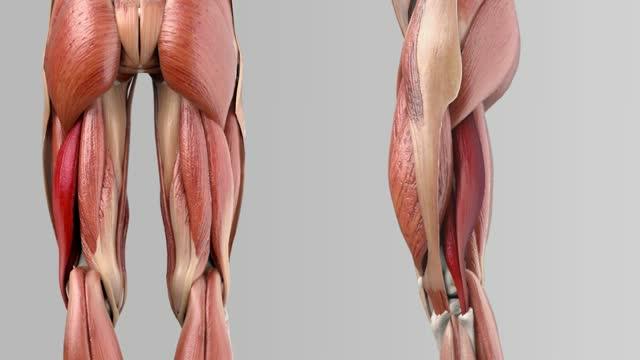 Musculus biceps femoris - DocCheck Flexikon