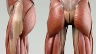 Musculus quadratus femoris
