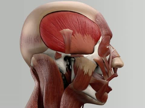Musculus temporalis - DocCheck Flexikon
