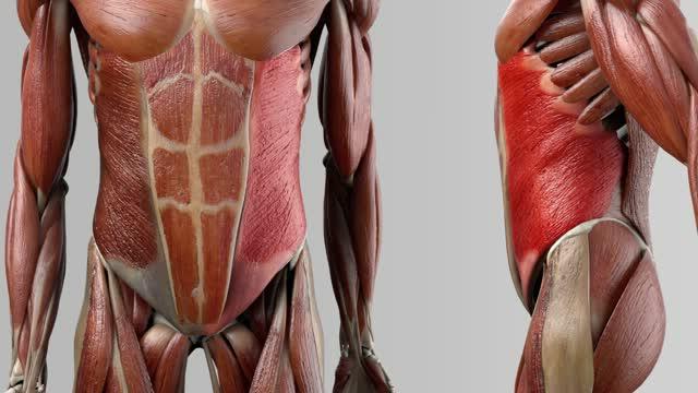 Musculus obliquus externus abdominis - DocCheck Flexikon