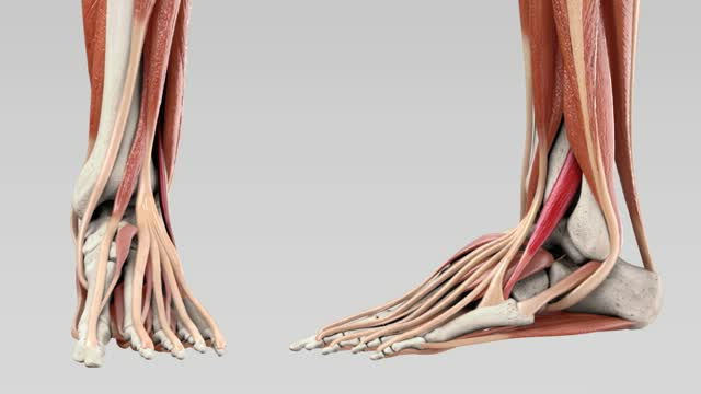 Musculus fibularis tertius - DocCheck Flexikon