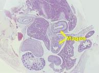 Verdauungsapparat Embryologie