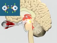 Nervus Oculomotorius