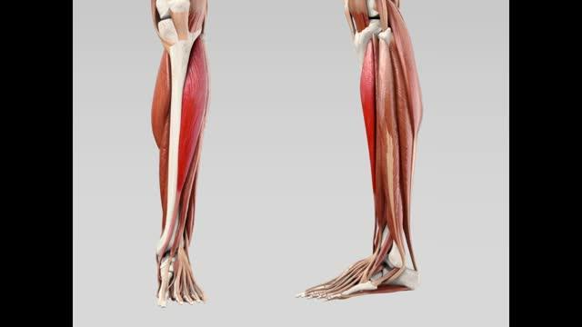 Musculus tibialis anterior - DocCheck Flexikon