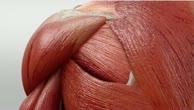 Musculus teres major