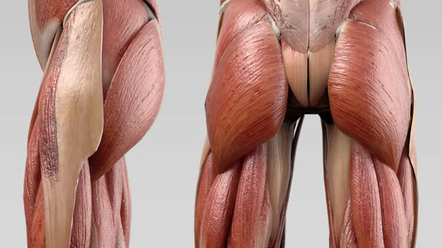 Musculus piriformis - DocCheck Flexikon