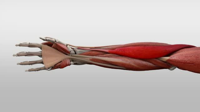 Musculus brachioradialis - DocCheck Flexikon