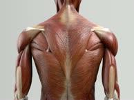 Musculi levatores costarum