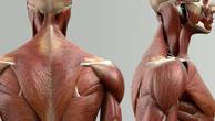 Musculus serratus posterior superior